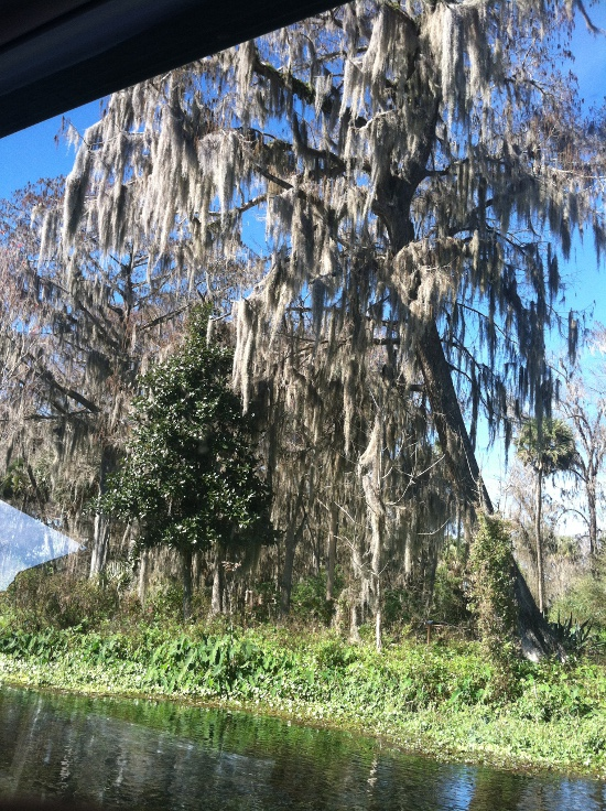 Lovely Florida cypress covered in Spanish moss