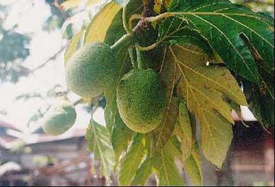 A sukun fruit