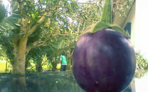 The giant eggplant is neither a giant nor an egg
